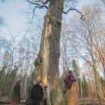 Zobaczyć 600 letnim dąb w środku lasu
